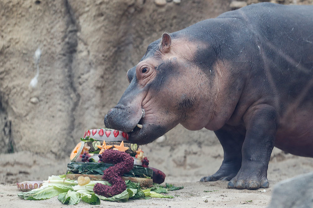 Fiona the Hippo eats her birthday cake at the Cincinnati Zoo