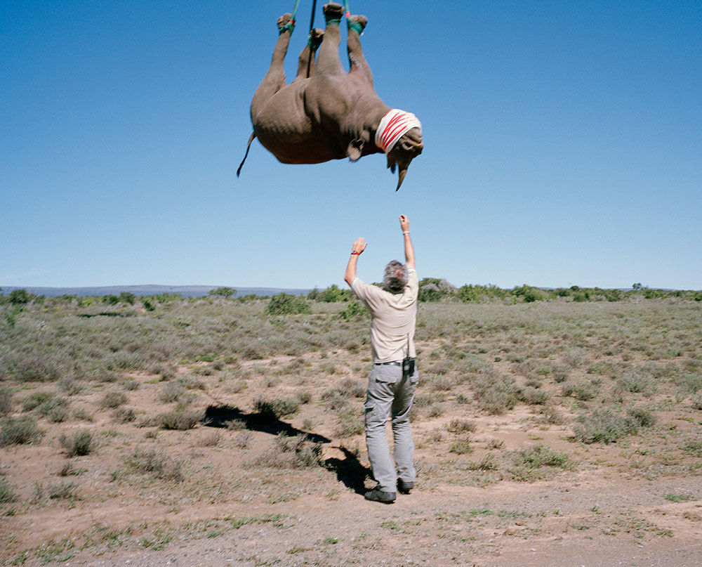 Carefully dropping a rhino in South Africa