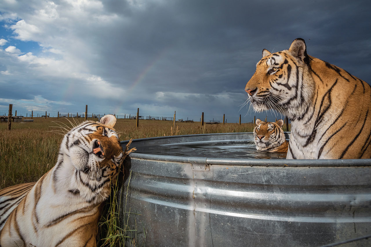 captive tigers