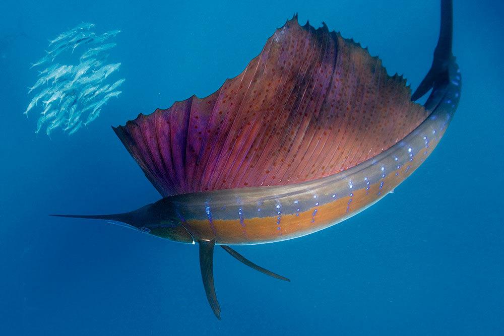 Meet the sailfish, the world's fastest fish