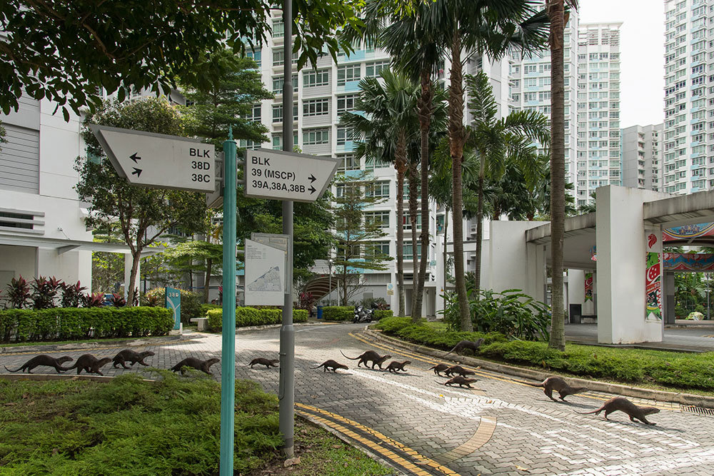 Once threatened, sea otters in Singapore are getting accustomed to city life.
