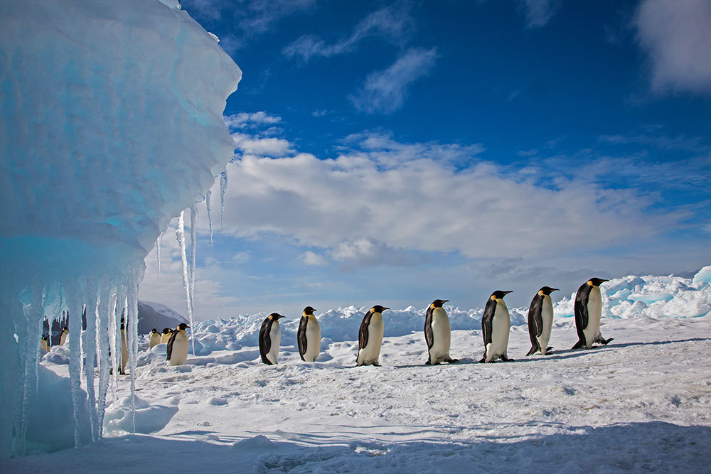 These emperor penguins are marching along the ice on Cape Washington on Antarctica's Ross Sea.