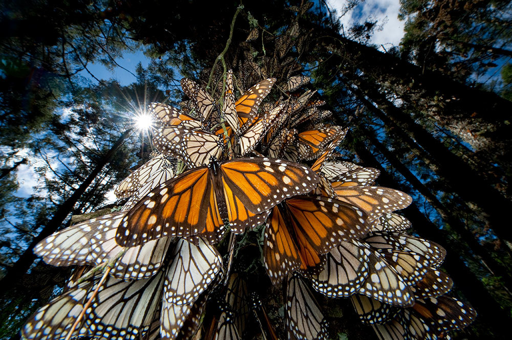Monarch (Danaus plexippus) butterfly, group on moss-covered tree in wintering grounds, Monarch butterfly Biosphere Reserve, Michoacan, Mexico